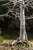 Chinese Elm Bonsai — Zdjęcie stockowe