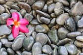 Pink Frangipani flower — Stock Photo