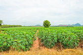 Cassava cultivation — Stock Photo