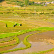 Green rice terraced fields - Stock Photo