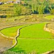 Young green rice terraced fields, Vietnam — Stock Photo