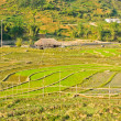 Foto Stock: Rice terraced fields, Vietnam