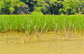 Rice field along river — Stock Photo