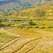 Stock Photo: Traditional hill tribe rice crops