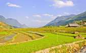 Landscape of rice crops — Stock Photo