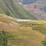 Sloping paddy fields in Sapa, Vietnam — Stock Photo
