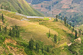 Green young rice terraced fields, Vietnam — Stock Photo