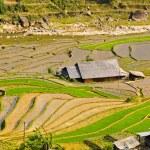 Rice terraced fields in Ta Van village, Vietnam — Stock Photo