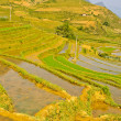 Rice terraced fields, Vietnam — Stock Photo #13809006