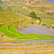 Young rice terraced fields — Stock Photo #13809468
