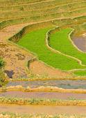 Rice terraced fields, Vietnam — Stock Photo