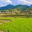 Young rice crops — Stock Photo