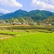 Stock Photo: Young rice crops in valley of Saphighland