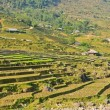 Young rice crops in hill tribe — Stock Photo