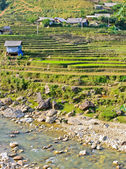 Young rice terraced field — Stock Photo