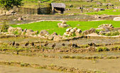 Rural view of rice terraced fields — Stock Photo