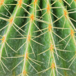 Cactus with long spines — Stock Photo