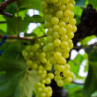 Wine grapes on the vine — Stock Photo
