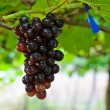 Wine grapes — Stock Photo #17382825