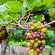 Unripe grapes in a vineyard — Stock Photo