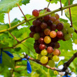 Stock Photo: Bunch of unripe grapes