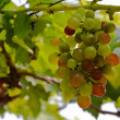 Bunch of grapes — Stock Photo #17383165