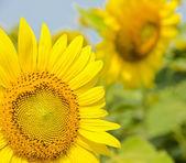 Sarı ayçiçeği — Stok fotoğraf