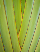 Petiole pattern of Traveller — Stock Photo