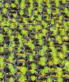 Pine tree nursery — Stock Photo