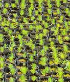 Vivero de árboles de pino — Foto de Stock