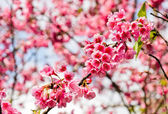 Wild Himalayan cherry blossom — Stock Photo