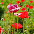 Opium poppy flower — Stock Photo #19607959
