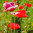 Opium poppy flower — Stock Photo