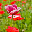 Opium poppy flower — Stock Photo #19608197