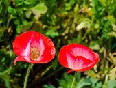 Fiore rosso papavero da oppio — Foto Stock