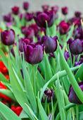 紫色郁金香盛开在字段中 — 图库照片