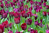 Beautiful purple tulip — Stock Photo