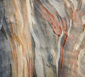 Background of rainbow eucalyptus tree bark — Stock Photo