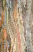 Rainbow eucalyptus tree bark — 图库照片