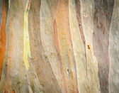 Eucalyptus deglupta tree bark texture — Stock Photo
