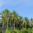 Stock Photo: Coconut tree