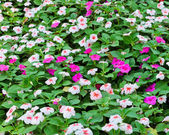 Catharanthus roseus — Stock Photo