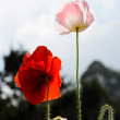 Opium poppy flower  — Stockfoto