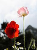 Flor de la amapola de opio — Foto de Stock