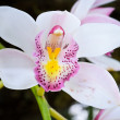 Pink Vanda orchid — Stock Photo
