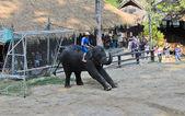 Sloni show — Stock fotografie