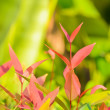 Leaflet of Ixora coccinea — Stock Photo