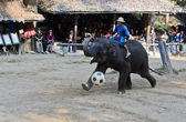 Elephants show — Stock Photo