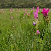 Pink Siam Tulip field — Fotografia Stock