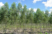Eucalyptus plantation — Stock Photo